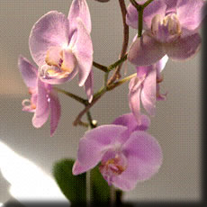 Click for detail: Phalenopsis Orchid
